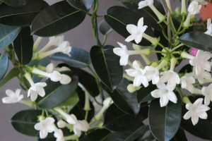 De entre los perfumes destaca la Flor de Sampaguita