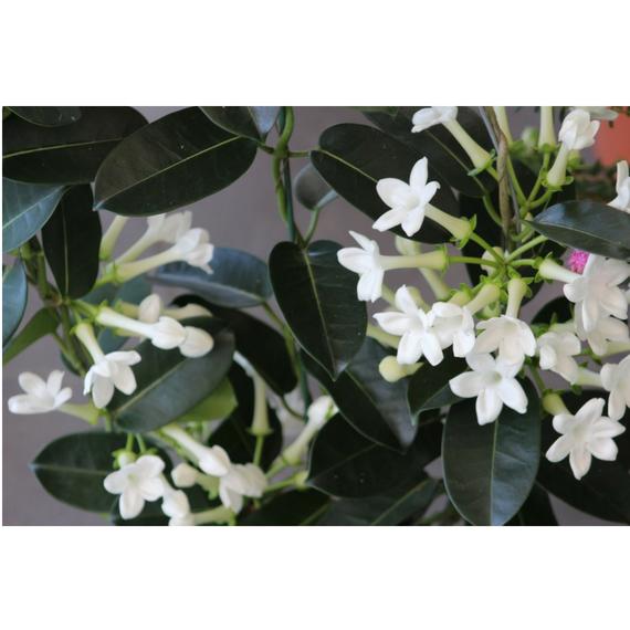 Flor de Sampaguita